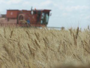 Рекордний врожай зернових піде закордон