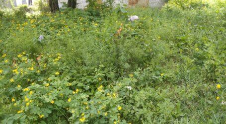Зелені насадження Кам'янського: наступ лісових рослин та боротьба з бур'янами