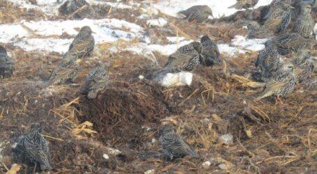 Шпаки зимують на звалищах агропідприємств в околицях Кам'янського