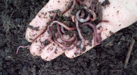 Черв'яки утилізують рослинні рештки поряд з Кам'янським районом