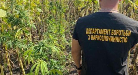 Під Кам'янським поліцейські виявили плантацію з коноплями