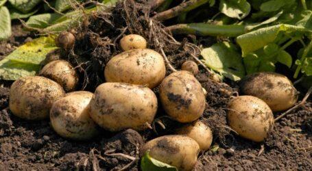 Что будет с ценами на поздний урожай украинского картофеля
