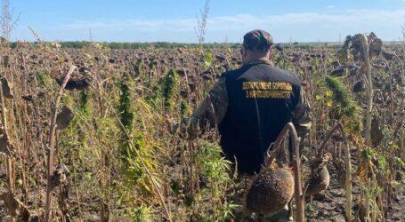 В Криничанском районе полицейские обнаружили коноплю стоимостью около 28 миллионов гривен