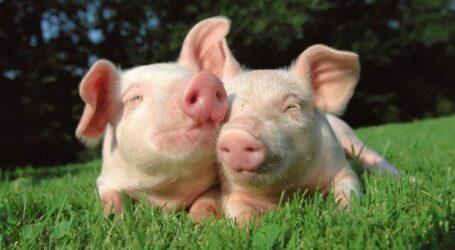 Почему цены на свинину в странах ЕС ниже, чем в Украине